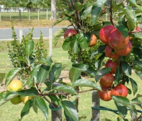 apples-in-orchard